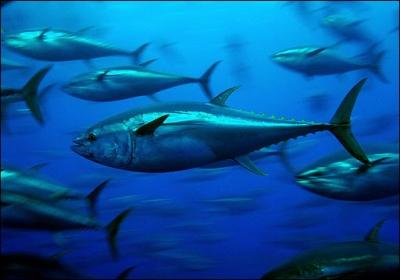 Bluefin Tuna, Japan